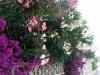 Bougainvillea & Oleander