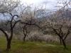 Mandelblüte in Februar
